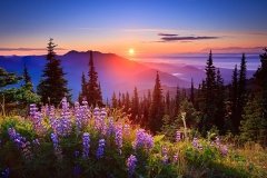 Olympic-Luminous-Lupin-Lookout